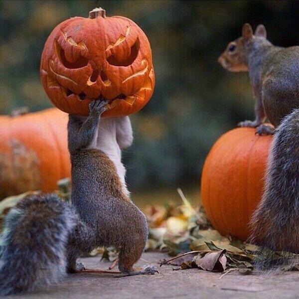 funny-photos-of-squirrel-pumpkin-head