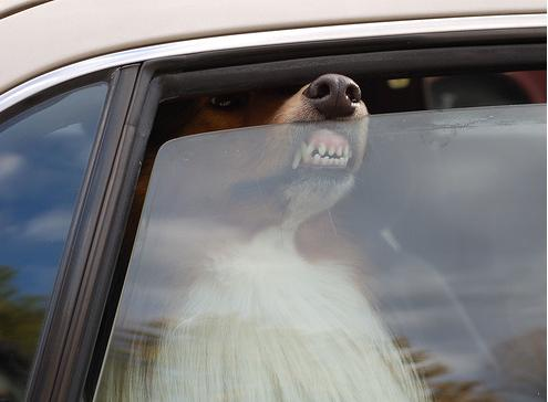 funny-pics-of-dogs-faces-on-windows-Collie-on-Car-Window