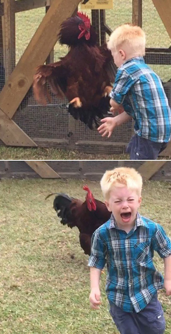 the-best-funny-pictures-of-rooster-chasing-kid